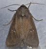 [73.139 Lenisa geminipuncta<BR>Twin-spotted Wainscot 2016-08-06<BR>lifer]