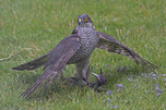 [Sparrowhawk with Starling]