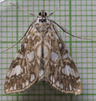 [63.114 Elophila nymphaeata<BR>Brown China-mark 2017-08-26<BR>first seen Hertfordshire 2004]